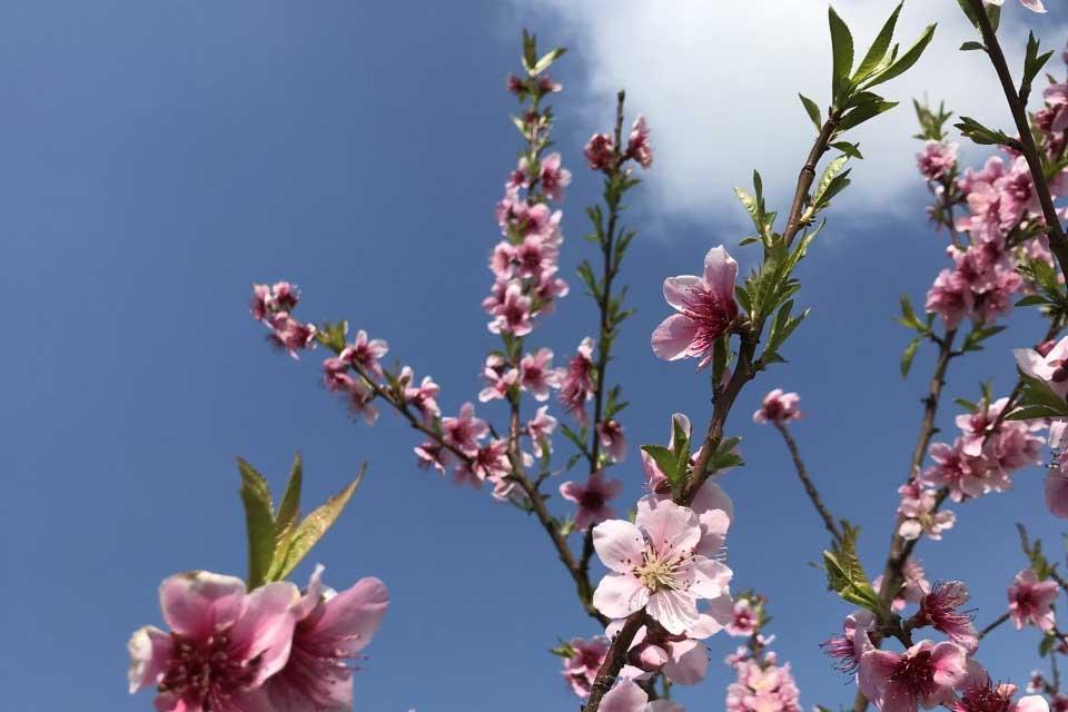 Bild Kirschblüten